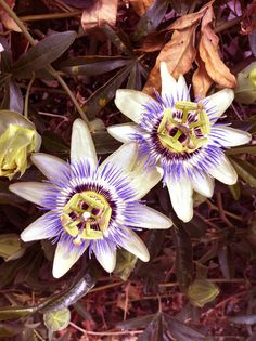 our quirky cousins, the plants (passion flowers)