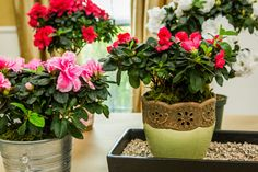 Looking for some tips on how to care for #Azaleas? @edenmakersblog has some advice to help these flowers thrive! Don't miss Home & Family weekdays at 10a/9c on Hallmark Channel!