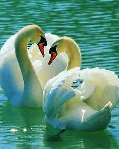 Media by - Nature Animals, Animals And Pets, Baby Animals, Cute Animals, Pretty Birds, Beautiful Birds, Animals Beautiful, Beautiful Swan, Swan Pictures