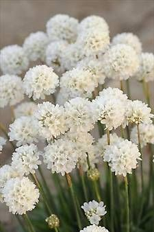ARMERIA 'Ballerina White'  Thrift. An excellent addition to your garden, ARMERIA 'Ballerina White', produces an abundance of blooms that will shine in containers, as an edging plant or in masses throughout the summer.Evergreen rounded clumps, in warmer zones, are left when blooms have gone.