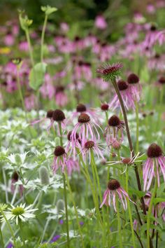 echinacea pallida - Eryngium and others