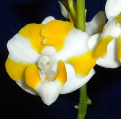 EX5 InSpike Species Phalaenopsis pulcherrima alba Orchid Cattleya Companion