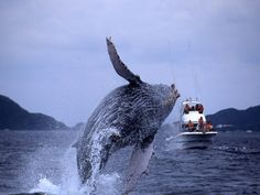 Whale watching in Okinawa.  This is one of the best experiences...words can't describe it.