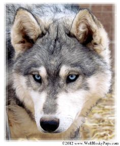 Wolf hybrid- I will have my own White Fang.