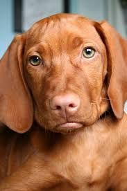 Image result for Hungarian vizsla