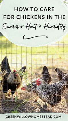 How to care for chickens in the summer heat and humidity a couple great chicken keeping hacks Care Skin Condition and Treatment Oil Makeup Raising Backyard Chickens, Backyard Chicken Coops, Keeping Chickens, Diy Chicken Coop, Pet Chickens, Urban Chickens, Chicken Ideas, Chicken Feed, Chicken Runs