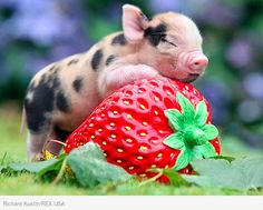 Micro Pig with Strawberry