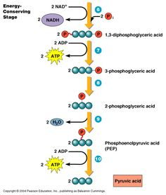 Induced fit modelg biochemistry pinterest active site and carbohydrate catabolism fandeluxe Image collections