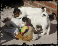 little Jack Russell dogs