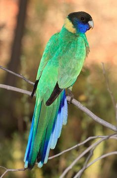 australian ringneck  photo by michael j barritt