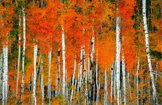I miss the Colorado aspen trees! Most beautiful trees I have ever seen