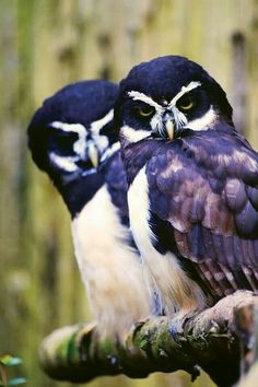 Spectacled owls. Trabolgan Birds of Prey Center. FB
