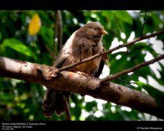 Yellow-billed Babbler (Turdoides affinis) at Vil Uyana, Yala National Park, Sri Lanka (www.secretlanka.com) Island Nations, Tour Operator, World Famous, Maldives, Sri Lanka, Traveling By Yourself, National Parks, Ocean, Birds