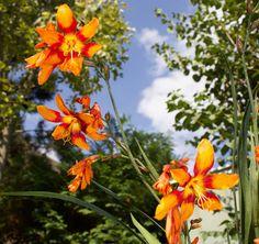 """Garten-Monbretie (Crocosmia x crocosmiiflora) """"Emily McKenzie""""- was für eine tolle Farbe!"""