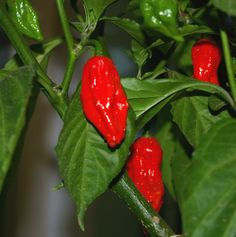 25 Premium Red Bhut Jolokia aka Ghost Pepper Hot Pepper Seeds-R 060