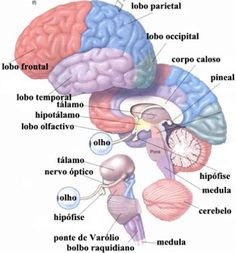 sistema nervoso cerebral Brain Anatomy, Human Anatomy And Physiology, Medical Science, Science Education, Mental Map, Brain Facts, Human Body Systems, Med Student, Medical Field