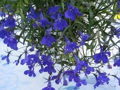 sinilobelia - Lobelia erinus Crystal Palace, Shop Ideas, Crystals, Flowers, Plants, Crystal, Plant, Royal Icing Flowers, Flower