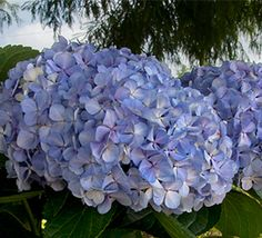 HYDRANGEAS WITHOUT THE BLUES How to manage blossom color: Did you Know? With our 'Big Daddy' Hydrangeas you can create red or pink blooms in alkaline soils and blue blooms in acidic soils? Hydrangea Colors, Hydrangea Garden, Lawn And Garden, Garden Tips, Landscaping Plants, Shade Garden, Container Gardening, Big Daddy, Outdoor Gardens