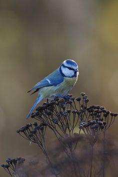 Blue Tit by Ville Airo