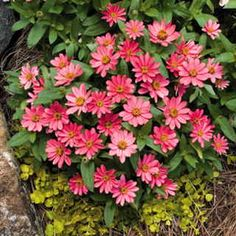 One of the newest introductions in the Zinnia Profusion series, Coral Pink is ideal for mass plantings or containers, laughing at heat, humidity, and drought.