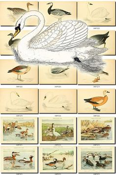 WATERFOWLS-1 Birds Collection of 54 vintage illustrations