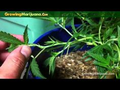 How to Supercrop Cannabis Plants - Growing Weed http://growingmarijuana.com/