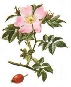 Dans le langage courant, l'églantier (rosa canina), donne un fruit dénommé cynorhodon.