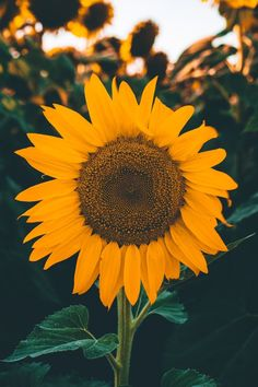 Sunflower wallpaper by Xerishya - - Free on ZEDGE™ Chill Wallpaper, Beach Wallpaper, Tumblr Wallpaper, Nature Wallpaper, Sunflower Iphone Wallpaper, Flower Phone Wallpaper, Sunflower Photography, Nature Photography, Phone Backgrounds