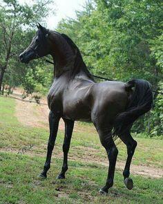 Classically Beautiful Arabian Stallion