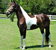 Tennessee Walking Horse mare, Maggie Now.