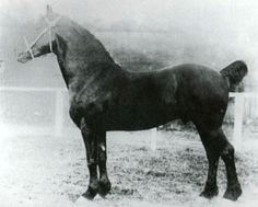 Llethi Valiant was born in 1921. He was 14hh and black. Llethi Valiant paid many visits to the Royal Welsh Shows in his younger years: winning a second prize in 1924, fourth in 1925, second in 1926 behind Mathrafal Eiddwen, first in 1928 beating Mathrafal Eiddwen, fifth in 1929 and a second on his last visit in 1931.