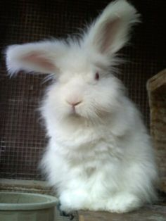 My english angora.. polar bear :)