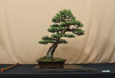 scots pine bonsai
