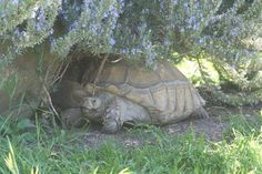 Sulcata tortoise resting in the shade of a flowering rosemary shrub