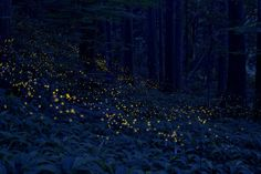 """Golden Firefly: In some region of Japan this firefly is called """"golden firefly"""", because yellow light looks like the glitter of gold. This firefly emit light very short time, so in the picture light streams become round spots"""