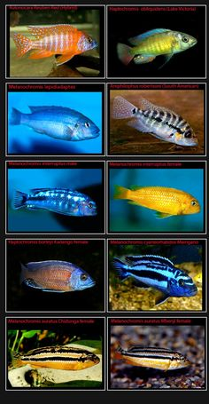 Cichlids-Page-6-Pics-only4.jpg (1002×1936)