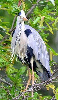 Amazing photo of a Great Blue Heron