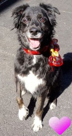 SUPER URGENT Manhattan Center JOURNEY – A1067318 SPAYED FEMALE, BLACK / WHITE, BORDER COLLIE MIX, 9 yrs OWNER SUR – ONHOLDHERE, HOLD FOR COURTESY Reason INAD FACIL Intake condition EXAM REQ Intake Date 03/11/2016 http://nycdogs.urgentpodr.org/journey-a1067318/