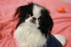 Emma, my 1 year old Japanese Chin.