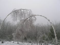 Ice storms do that--Birches