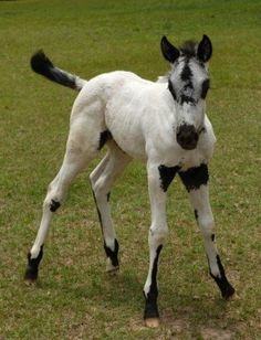 appaloosa babys horses | Awesome appy foal | For The Love Of Horses