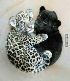 Baby jaguar cuddling baby panther