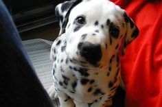 I had a Dalmatian when I was little. :) She was the best dog ever! She would follow us around like our nannie :)