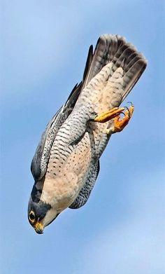 - peregrine falcon - Birds of prey . - – peregrine falcon – British birds of prey: a guide to rural life for raptors - Animal Captions, Funny Animal Memes, Funny Animals, Pretty Birds, Beautiful Birds, Animals Beautiful, Beautiful Pictures, Exotic Birds, Colorful Birds
