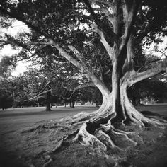 Holga - something about a strong tree with roots stretching into the earth!
