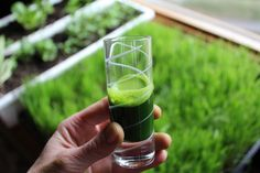 Cool 21 Reasons to Drink Wheatgrass Daily