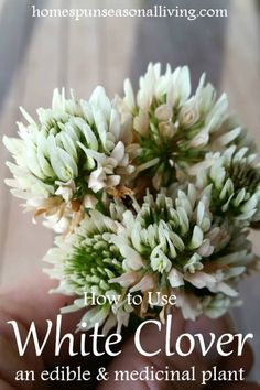 Natural Holistic Remedies Using white clover by the handful. - Make the most of common yard weeds by using white clover for food and medicine with these easy tips and recipes and still leaving plenty for the bees. Healing Herbs, Natural Healing, Natural Life, Natural Living, Natural Beauty, Natural Foods, Natural Herbs, Natural Health Remedies, Herbal Remedies