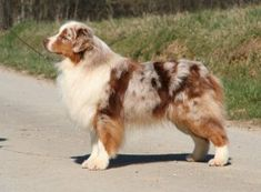Color Genetics of the Australian Shepherd Dog | Everything Dog at Alpine Publications