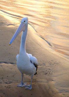 Pelican - Sunshine Coast, Australia taken by Bret Clarke
