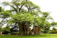 The largest Baobab in the world